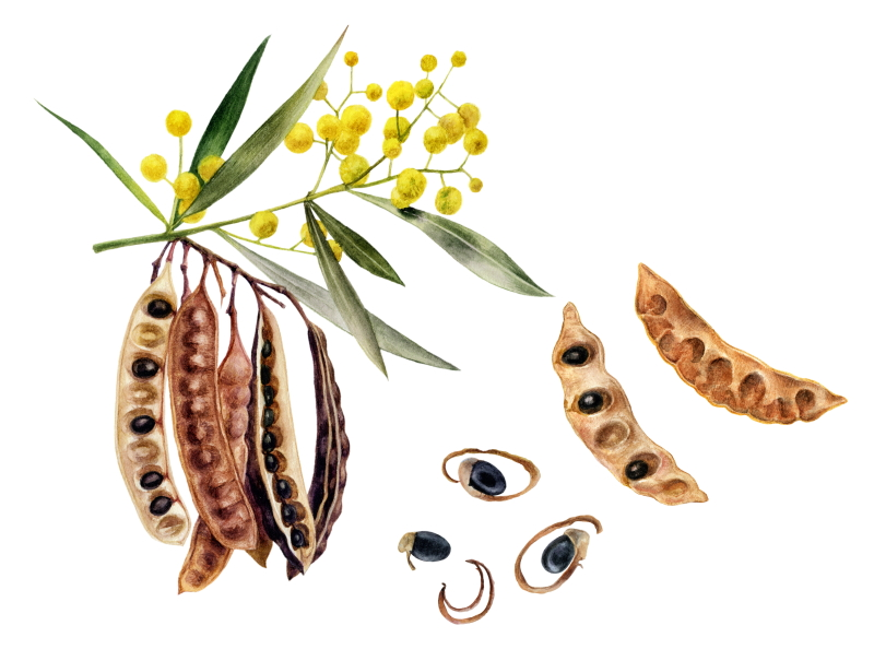 Colour Me Bronze Professional Wattle Seeds Extract